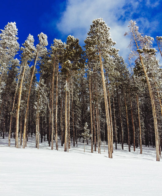 Lodgepole Pines at Big Sky, Montana - I think.